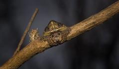 Dolophones sp. (dustaway) Tags: arthropoda arachnida araneae araneomorphae araneidae araneinae dolophones wraparoundspider australianspiders clagirabaforestreserve clagiraba coomeravalley sequeensland queensland australia