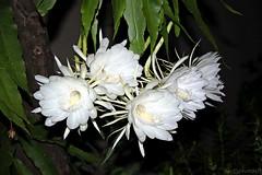 Epiphyllum oxipetalum (Bert'sPhotos) Tags: epiphyllumoxipetalum damadanoite floresbrancas flower flores flowers epiphillum quintaflower