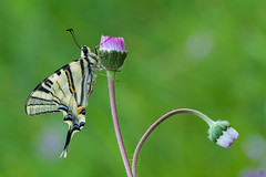 The right choice... (daniele.rossi) Tags: macro canon 7d farfalla butterfly flower fiori flowers rossidaniele lepidoptera iphiclidespodalirius 2017 nature natura insetto insect