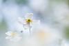 White shadow (Thomas Vanderheyden) Tags: anemone bokeh colors couleur flora flore flower fujifilm garden jardin macro nature ornement proxi samyang135mm thomasvanderheyden vegetal xt1 white