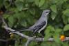 Tropical Mockingbird (Peter Stahl Photography) Tags: tropicalmockingbird mockingbird mexico yucatan cancun grandpalladium greenery bird