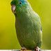 Spectacled Parrotlet Panaca Quimbaya Colombia