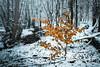 Last Colors (der-ernst) Tags: cold schnee snow white winter forrest storm wintry tree nature landscape landschaft nikon sigma gloom gloomy dark color orange blue wet trees woods wodland wood