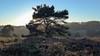 Solitairy tree (RIch-ART In PIXELS) Tags: brunssumerheide brunssum landgraaf heerlen leicadlux6 leica dlux6 heather heathland tree pines sky field light sunlight winter landscape hill forest grass