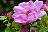 Friday flower, HFF (evisdotter) Tags: fridayflower hff pink rose ros blomma macro sooc