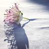 Caper flower (VillaRhapsody) Tags: shadow flower caper cute pretty cloth summer
