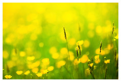 Balance in Yellow (memories-in-motion) Tags: gelb grün green yellow nature breath air outdoor balance silence flower grass minimalism ef70200mmf28lisiiusm canoneos5dmarkiii