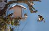 _JHS8815 (Bribes de terre) Tags: faune oiseau hiver chardonneret