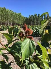 "GWD Forestry Brazil Urucum plantation <a style=""margin-left:10px; font-size:0.8em;"" href=""http://www.flickr.com/photos/47172958@N02/38556147835/"" target=""_blank"">@flickr</a>"