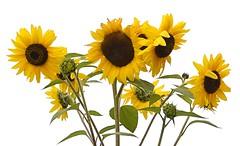 Sunflowers against cloudy sky (Pat's Pics36) Tags: nikond7000 nikkor18to200mmvrlens usa washington semiahmoo packersresort sunflower