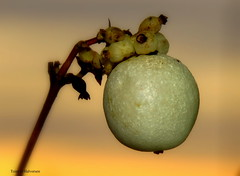 A berry, like a Christmas ball (Toini O Halvorsen) Tags: berry macro nature sunset