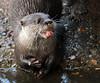 otter ouwehands BB2A4964 (j.a.kok) Tags: otter ouwehands animal asia azie europe europa mammal zoogdier dier