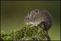 Vole In Explore 6-01-2018 #73 (Thomas Winstone) Tags: wales unitedkingdom gb vole canonuk canon 300mm28mk2 mammal mammals watervole water canal reen uk countryside outdoor forest forestry wild wildlife nature canon1dxmark2 3lt 3leggedthing thomaswinstonephotography bbc springwatch bbcspringwatch nationalgeographic