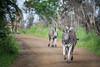 Steppenzebras / Plains Zebras (brainstorm1984) Tags: burchellszebras imfolozihluhluwe safari hluhluweumfolozi pferdezebra hluhluwe pferdezebras equusquagga burchellszebra hluhluwe–imfolozipark zebra commonzebra southafrica commonzebras steppenzebras plainszebra zebras plainszebras hluhluweimfolozipark südafrika steppenzebra hluhluweumfolozigamereserve hluhluwe–umfolozigamereserve wildlife stluciapark kwazulunatal za