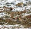 Lapland Longspur_Horned Larks_N2582 (Henryr10) Tags: ottoarmlederpark hamiltoncountyparkdistrict cincinnati ottoarmledermemorialpark armlederpark littlemiamiriver greatparksofhamiltoncounty eremophilaalpestris hornedlark lark eremophila vogel ibon oiseau pasare fågel uccello tékklistar hola laplandlongspur longspur calcariuslapponicus calcarius avian bird lalo
