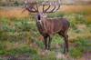 Red Deer threatening  - (Cervus elaphus) 'Z' for zoom (hunt.keith27) Tags: patch rump buff paler russetbrown dark territory branchingantlers moorland antler stag reddeer cervuselaphus anima animal grass landscape richmondpark mammal forest tree