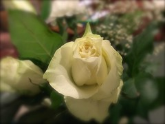 1238 White rose (Andy - Busy Bob) Tags: bbb bouquet fff flower iphotoedgeblur rose rrr white www