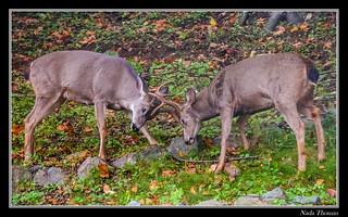Black-tailed Deer Bucks - Fighting-1