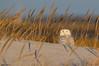 Snowy Owl (b88harris) Tags: snowy owl beach shore black white brown yellow eye bird raptor hiking sunrise sunshine exposure nikon nikkor nature natural wildlife winter migration marsh green grass dunes