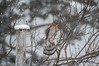 Cooper's Hawk in the snow (D Kaposi) Tags: toronto highpark december 2017 snow