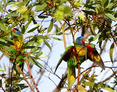 I can see you (The Pocket Rocket, On and Off.) Tags: rainbowlorikeet trichoglossushaematodus oceangrove mygarden victoria australia
