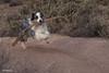 I found a stick!  I found a stick! (Jasper's Human) Tags: aussie australianshepherd run stick fly zoomies