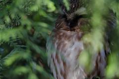 Saw Whet Owl (TW Olympia) Tags: bird owl sawwhet nisquallynationalwildliferefuge