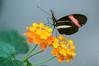 Postman butterfly (John van Beers) Tags: arnhem burgerszoo gewonepassiebloemvlinder butterfly dierentuin heliconiusmelpomene postman postmanbutterfly vlinder zoo