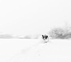 snow white (mgstanton) Tags: january diego dog snow winter bombogenesis bombcyclone winterstormgrayson grayson