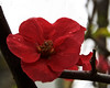 Flowering quince (Steve Wedgwood) Tags: fruitblossom quince