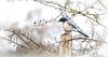 Scrub Jay (Team Hymas) Tags: scrubjay ridgefield washington clarkcounty winter