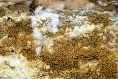 Dakloze huiszwam - Serpula himantioides (De Rode Olifant) Tags: daklozehuiszwam serpulahimantioides marjansmeijsters autumn mushroom fungus nature macro