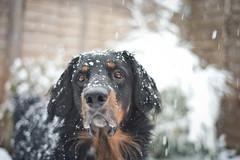 Snow dog (Dogloverlou) Tags: cash hovawart winter 2017