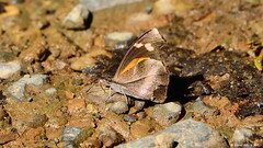 White-spotted Beak (Libythea narina) (Steve Arena) Tags: bug bugs butterfly butterflies kaengkrachan kaengkrachannationalpark tenasserimmountainrange huaimaepriang phetchaburi petchaburi httpthailandbirding2017blogspotcom thailandbirding2017 thailandhttpthailandbirding2017blogspotcom2017 2017 nikon d750 whitespottedbeak libytheanarina