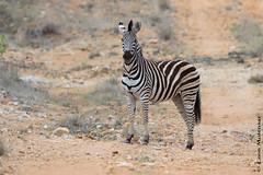Burchell's Zebra (leendert3) Tags: leonmolenaar wildlife nature mammals southafrica krugernationalpark burchellszebra ngc npc