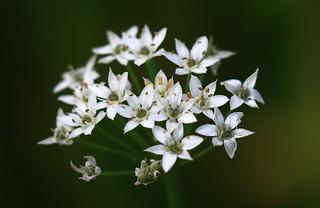 Little White Stars