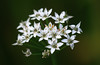 Little White Stars (AnyMotion) Tags: chinesechives knoblauchschnittlauch chinesischerschnittlauch knolau alliumtuberosum blossom blüte bokeh 2017 floral flowers botanischergarten frankfurt plants pflanzen anymotion colours colors farben white weis 7d2 canoneos7dmarkii autumn fall herbst automne otoño ngc npc