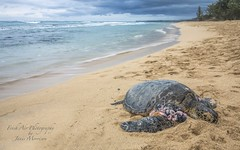 Hawaiian Green Sea Turtle (Chelonia mydas) *honu* on Baldwin Beach, Maui (Freshairphotography) Tags: hawaiiangreenseaturtle mauihawaii baldwinbeach beach hawaii honu cheloniamydas fibropapillomatosis growths tumors stormy turtle greenseaturtle seacreature sealife beached hawaiian maui nature ocean pacificocean peaceful