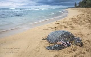 Hawaiian Green Sea Turtle (Chelonia mydas) *honu* on Baldwin Beach, Maui