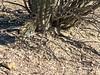 Camouflaged Road Runner-19 (Chic Bee) Tags: colors camouflage shadow roadrunner bird sabinocanyon nature naturewalk catalinamountains tucson arizona southwesternusa americansouthwest america interesting