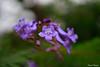 Jacaranda flowers (edzwa) Tags: cremornepoint newsouthwales australia au jacaranda flowers flower closeup