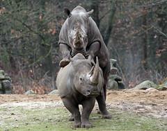 white rhino Burgerszoo BB2A6820 (j.a.kok) Tags: neushoorn rhino rhinoceros whiterhino witteneushoorn breedlipneushoorn burgerszoo animal africa afrika herbivore mammal zoogdier dier