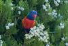 rainbow lorikeet (crispy1612) Tags: rainbow lorikeet nikon d500 200500 f56 birdlife albury nsw
