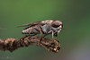 Horse-fly (Sula's Memories(සුලාගේ මතකයන) Tags: nature macro wildlife animal insect creature hourse fly tabanidae green red grey best stick sulaphotography ready end
