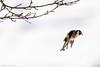 _JHS9541 (Bribes de terre) Tags: faune oiseau hiver chardonneret