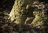 Bank Vole (Craig 2112) Tags: bank vole tree stump garden fungi myodesglareolus wild rodent