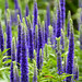 Hot Springs - Dwarf Spiked Speedwell