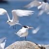 Look Out duty (MJ Harbey) Tags: bird royaltern sternahirundo mosslanding monterey usa wildbird sea water rock nikon d3300 nikond3300 california