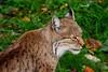 Lynx @ GaiaZoo (By Peter Hollander, thanks for + 200.000 views) Tags: lynx d7200 sigma150600sports gaiazookerkrade bigcat predator zoomlens zoo nikon