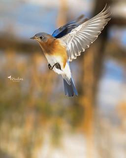 Bluebird action in my backyard :)